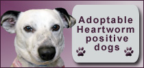 Adoptable heartworm positive dogs